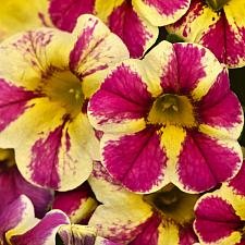 CALIBRACHOA hybrid Candy Shop 'Candy Bouquet', Candy Shop Calibrachoa