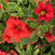 CALIBRACHOA hybrid 'Celebration Mandarin', Celebration Calibrachoa
