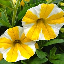 CALIBRACHOA hybrid Superbells 'Lemon Slice', Superbells Calibrachoa