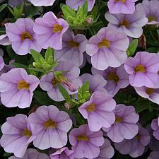 CALIBRACHOA hybrid Superbells 'Miss Lilac', Superbells Calibrachoa