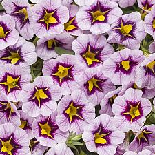 CALIBRACHOA hybrid Superbells 'Morning Star', Superbells Calibrachoa