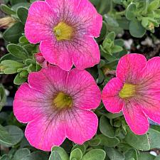 CALIBRACHOA hybrid Superbells 'Honeyberry', Superbells Calibrachoa