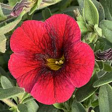 CALIBRACHOA hybrid Superbells 'Pomegranate Punch', Superbells Calibrachoa