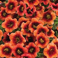 CALIBRACHOA hybrid Superbells 'Tangerine Punch', Superbells Calibrachoa