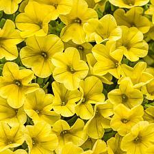 CALIBRACHOA hybrid Superbells 'Yellow', Superbells Calibrachoa