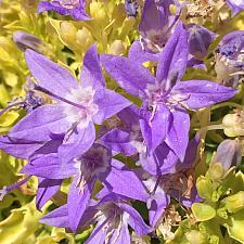 CAMPANULA garganica 'Dickson's Gold', Bellflower