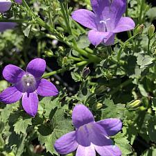CAMPANULA portenschlagiana 'Miss Melanie', Bellflower