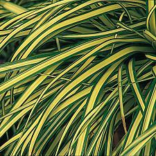 CAREX oshimensis 'Evergold', Variegated Japanese Sedge
