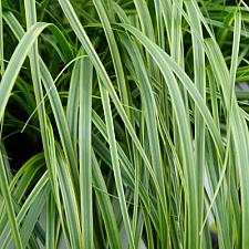 CAREX oshimensis 'Everlime', Japanese Sedge