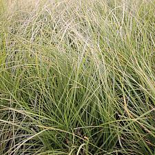 CAREX pansa, California Meadow Sedge, Dune Grass
