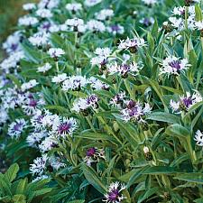 CENTAUREA montana 'Amethyst in Snow', Bachelor's Button, Cornflower, Basket Flower