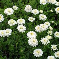 CHAMAEMELUM nobile 'Flore Pleno', Double-flowered Chamomile