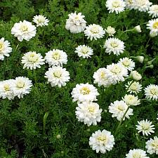 CHAMAEMELUM nobile 'Flore Pleno', Double-flowered Chamomile