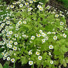 CHRYSANTHEMUM parthenium 'Aureum', Golden Feather