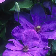 CLEMATIS 'Elsa Spath', Clematis: Early Large-flowered type