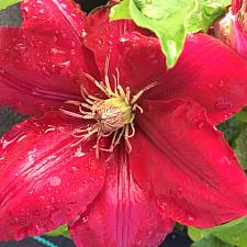 CLEMATIS 'Rebecca' (='Evipo016'), Clematis: Early Large-flowered Type