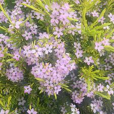 COLEONEMA pulchrum 'Golden Sunset', Breath of Heaven, Diosma