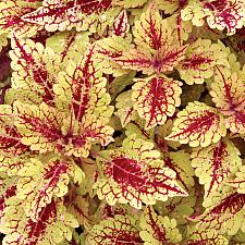 COLEUS Color Clouds 'Honey Pie', Coleus