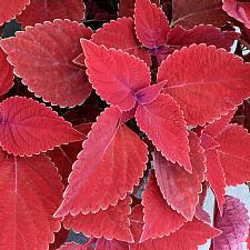 COLEUS Color Clouds 'Valentine', Coleus