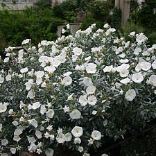 CONVOLVULUS cneorum, Silverbush, Bush Morning Glory