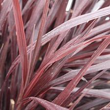 CORDYLINE 'Design-a-Line Burgundy', Torbay, Cabbage or Cornish Palm