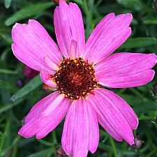 COREOPSIS 'Limerock Passion', Thread-Leaf Coreopsis, Tickseed