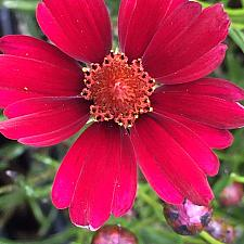 COREOPSIS 'Limerock Ruby', Thread-Leaf Coreopsis, Tickseed