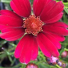 COREOPSIS 'Limerock Ruby', Thread-Leaf Coreopsis, Tickseed