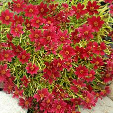 COREOPSIS 'Strawberry Lemonade', Hybrid Tickseed