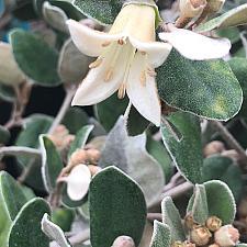 CORREA `Ivory Bells', Australian Fuchsia