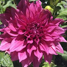 DAHLIA 'Café au Lait Rose', Large or Dinner Plate Dahlia