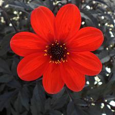 DAHLIA hybrid 'Mystic Enchantment', Dahlia