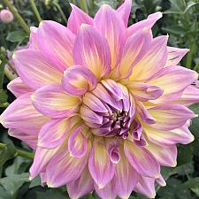 DAHLIA 'Strawberry Ice', Large or Dinner Plate Dahlia