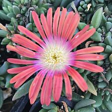 DELOSPERMA dyeri 'Red Mountain', Iceplant
