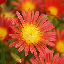 DELOSPERMA nubigenum Wheels of Wonder 'Fire Wonder', Iceplant
