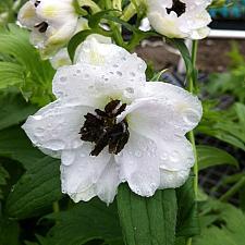 DELPHINIUM x cultorum Magic Fountains 'White Dark Bee', Larkspur