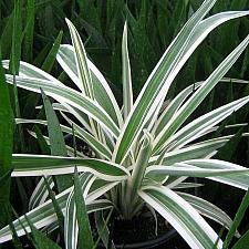 DIANELLA tasmanica 'Destiny', Flax Lily