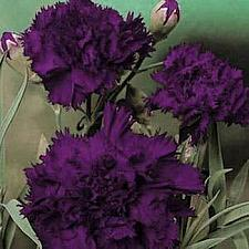 DIANTHUS caryophyllus Grenadin 'King of the Blacks', Carnation, Clove Pink