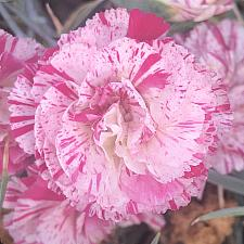 DIANTHUS 'Peppermint Candy', Carnation, Clove Pink