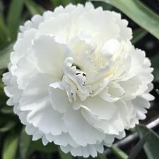 DIANTHUS 'Sunflor Cosmos', Sunflor Carnation