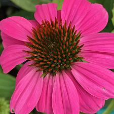 ECHINACEA purpurea 'PowWow Wild Berry', Purple Coneflower