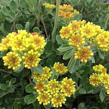 ERIOGONUM umbellatum, Wild Buckwheat, Sulfur Flower