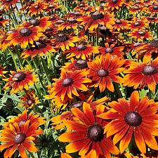 ECHIBECKIA 'Summerina Brown',