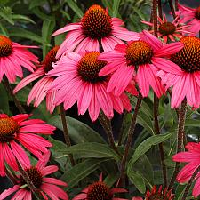 ECHINACEA 'Glowing Dream', Coneflower