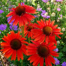 ECHINACEA 'Hot Lava', Coneflower