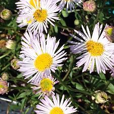 ERIGERON karvinskianus 'Moerheimii', Fleabane, Mexican or Santa Barbara Daisy