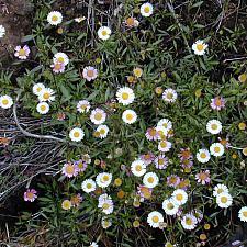 ERIGERON karvinskianus, Fleabane, Mexican or Santa Barbara Daisy