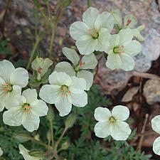 ERODIUM chrysanthum, Alpine Geranium, Heronsbill, Storksbill