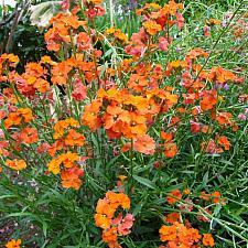 ERYSIMUM 'Apricot Twist' (syn. 'Apricot Delight'), Wallflower