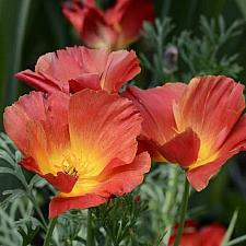 ESCHSCHOLZIA californica 'Strawberry Fields', California Poppy
